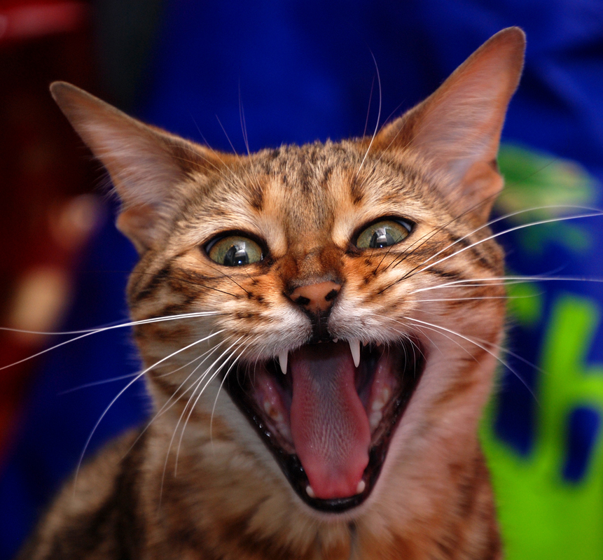 cat with bad attitude